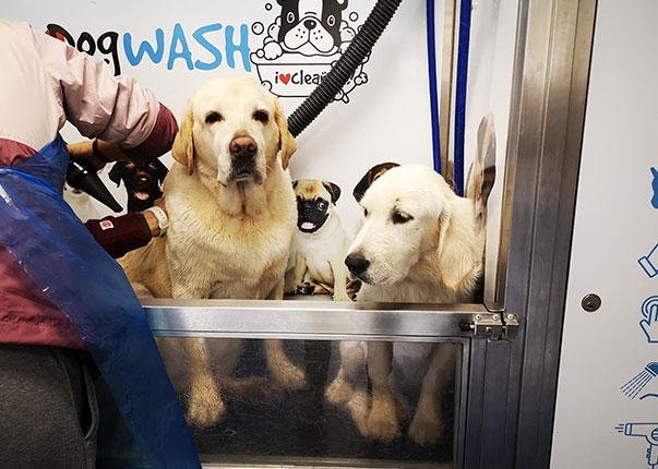 Labradores disfrutando de su baño en i love dog wash